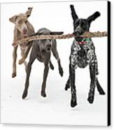 Pointers Rule, Weimaraners Drool Canvas Print by Michael Fiddleman, fiddography.com