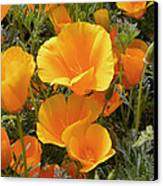 Poppies (eschscholzia Californica) Canvas Print by Tony Craddock