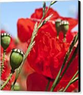 Poppy Pods Canvas Print by Jane Rix