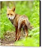 Portrait Of Fox Canvas Print by Gary Chalker