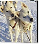 Portrait Of Two Husky Sled Dogs Canvas Print by Paul Nicklen