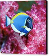 Powder Blue Surgeonfish Canvas Print by Georgette Douwma