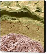 Primate Ear Canal, Sem Canvas Print by Steve Gschmeissner