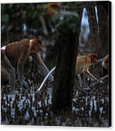 Proboscis Monkeys Travel Over Mangrove Canvas Print by Tim Laman