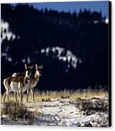 Pronghorn (antilocarpa Americana) Canvas Print by Altrendo Nature