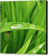 Rain Drops On Grass Canvas Print by Trever Miller