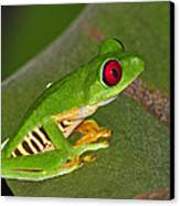 Red-eyed Leaf Frog Canvas Print by Tony Beck