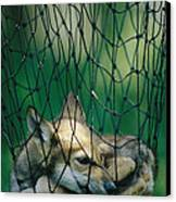 Red Fox Vulpes Vulpes In A Soft Trap Canvas Print by Joel Sartore