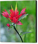 Red Indian Paintbrush Canvas Print by Lisa Phillips