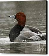 Redhead Duck Flapping Its Wings Canvas Print by Inspired Nature Photography Fine Art Photography