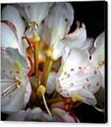 Rhododendron Explosion Canvas Print by Deborah  Crew-Johnson