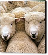Romney Sheep Canvas Print by Gregory G Dimijian and Photo Researchers