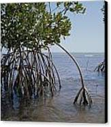 Root Legs Of Red Mangroves Extend Canvas Print by Medford Taylor