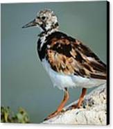 Ruddy Turnstone Canvas Print by Lynda Dawson-Youngclaus