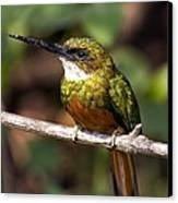 Rufous-tailed Jacamar Male Canvas Print by Tony Camacho