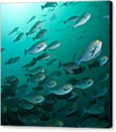 School Of Yellow Masked Surgeonfish Canvas Print by Mathieu Meur
