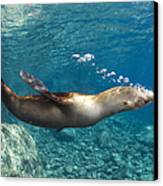Sea Lion Blowing Bubbles, Los Islotes Canvas Print by Todd Winner