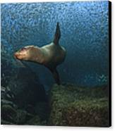 Sea Lion Chasing A School Of Bait Fish Canvas Print by Todd Winner