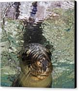 Sea Lion Portrait, Los Islotes, La Paz Canvas Print by Todd Winner