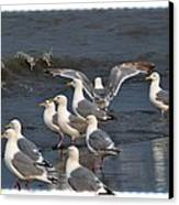 Seagulls Gathering Canvas Print by Debra  Miller