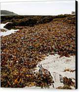 Seaweed Covered Beach Canvas Print by Dr Keith Wheeler
