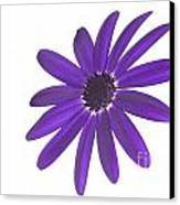 Senetti Deep Blue Head Canvas Print by Richard Thomas