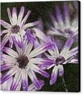 Senetti Pericallis Canvas Print by Steve Asbell
