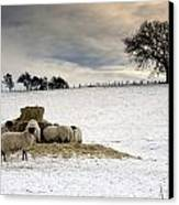 Sheep In Field Of Snow, Northumberland Canvas Print by John Short