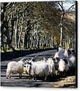 Sheep On The Road, Torr Head, Co Canvas Print by The Irish Image Collection