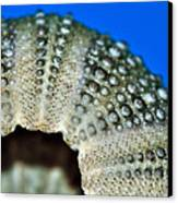 Shell With Pimples 2 Canvas Print by Kaye Menner