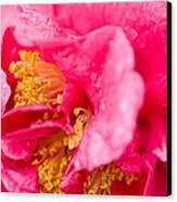 Shy Camellia Canvas Print by Rich Franco