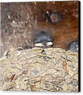 Sleeping Barn Swallows Canvas Print by David Lee Thompson