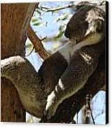 Sleeping Koala Canvas Print by Bob Christopher