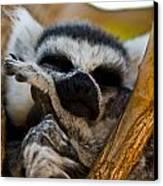 Sleepy Lemur Canvas Print by Justin Albrecht