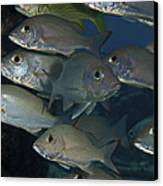 Small School Of Mahogany Schnapper Canvas Print by Terry Moore