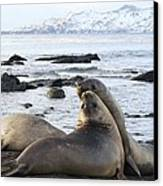 Southern Elephant Seals Sparring Canvas Print by Charlotte Main