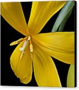 Spent Tulip Canvas Print by Garry Gay