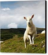 Spring Lamb On Hillside Canvas Print by Kevin Day