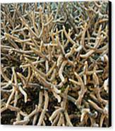 Staghorn Coral Canvas Print by Matthew Oldfield