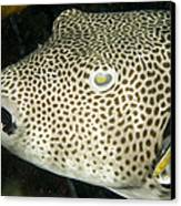 Star Puffer Fish Being Cleaned Canvas Print by Tim Laman