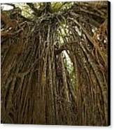Strangler Fig Tree, Ficus Virens, Known Canvas Print by Tim Laman