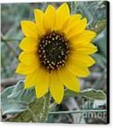 Sunflower Smile Canvas Print by Sara  Mayer