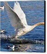 Swan Take Off Canvas Print by Mats Silvan