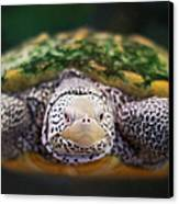 Swimming Turtle Facing Camera Canvas Print by Greg Adams Photography