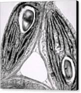 Tem Of Chloroplasts Canvas Print by Dr Jeremy Burgess