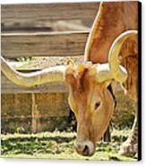 Texas Longhorns - A Genetic Gold Mine Canvas Print by Christine Till