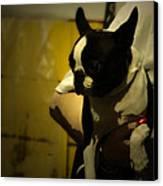 The Boston Bull Terrier  Canvas Print by Steven  Digman