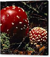 The Introduced Bright Red Fly Agaric Canvas Print by Jason Edwards