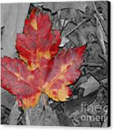 The Red Leaf Canvas Print by Paul Ward