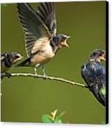 Three Barn Swallow Fledglings Begging Canvas Print by Darlyne A. Murawski